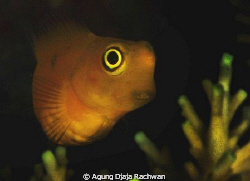Yellow Blenny of Raja Ampat ! ... Luv the Eye ... by Agung Djaja Rachwan 